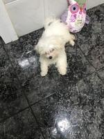 Respira con dificultad en perros, Bichon maltés