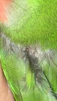 Picor y rascarse en aves, Agapornis roseicollis