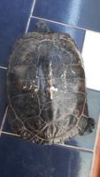 Abc, mi reptil tortuga de orejas rojas hembra, tiene heridas y erupciones en la piel