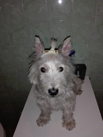 Laia, mi perro westie hembra, tiene picor y rascarse, piel grasa y mal olor en la piel