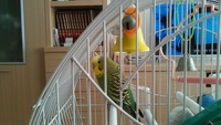 Estreñimiento en aves, Periquito verde oliva