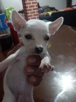 Coco, mi perro chihuahueño macho, tiene mal apetito