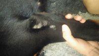 Akira, mi perro rottweiler hembra, tiene pérdida de pelo, pérdida de piel y piel seca