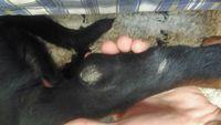 Pérdida de piel en perros, Rottweiler