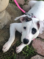 Diarrhea en dogs, Pit bull