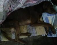 Chocolate, mi perro cruce macho, tiene mal apetito, secreción ocular verdosa y heridas que no curan o cicatrizan