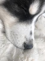 Sneezing en dogs, Siberian Husky