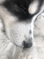 Vomit en dogs, Siberian Husky