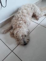 Encías blancas o pálidas en perros, Schnauzer estándar