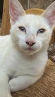 Ojos inflamados en gatos, Maine coon