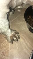 Coco, mi perro westie macho, tiene heridas, heridas que no curan o cicatrizan y apatía