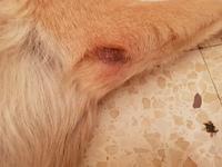 Edema en la piel en perros, Pastor alemán