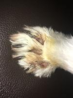 Heridas que no curan o cicatrizan en perros, Westie