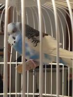 Respiración ruidosa en aves, Periquito azul cielo