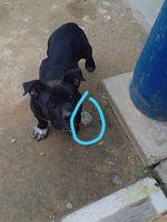 Come cosas no alimenticias (Plásticos, calcetines etc.) en perros, Pit bull