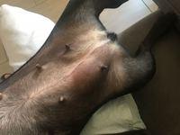 Mia, mi perro bulldog francés hembra, tiene inflamación de las mamas