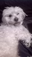 Flatulencia en perros, Bichon maltés