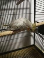 Inclina la cabeza en aves, Cacatúa ninfa