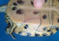 Dolor al contacto en reptiles, Tortuga orejas amarillas
