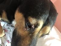 Secreción ocular en perros, Pit bull