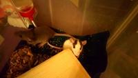 Gusanos en las heces en roedores, Rata dumbo