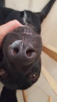 Lagrimeo verdoso o amarillento en perros, Labrador