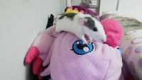 Maia, mi roedor rata dumbo hembra, tiene temblores