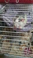 Temblores en roedores, Rata dumbo