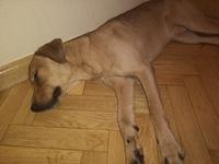 Mareo en perros, Labrador