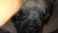 Estornudos en perros, Pug
