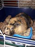 Mal apetito en roedores, Cobaya abisinio