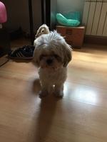 Baby, mi perro shih tzu hembra, tiene desánimo, decaído, triste, depresión, lame mucho sus genitales y jadeo