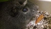 Secreción ocular en roedores, Cobaya americana