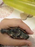 Respira con dificultad en reptiles, Tortuga orejas amarillas