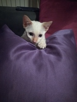 Estornudos en gatos, Desconocida