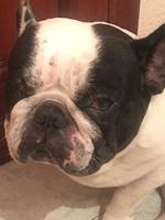 Ojos entrecerrados en perros, Bulldog francés
