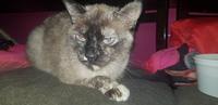 Misi, mi gato cruce hembra, tiene vómito, vómito con sangre y cojera