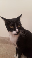 Arcadas en gatos, Americano de pelo corto