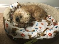Apatía en perros, Terrier escocés