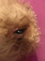 Falta de pelo alrededor de los ojos en perros, Caniche
