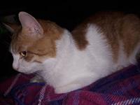 Bieli, mi gato cruce de europeo de pelo corto macho, tiene vómito verde