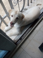 Respiración acelerada en perros, Labrador
