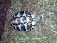 Estreñimiento en reptiles, Tortuga mediterránea