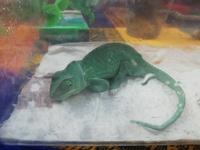 Mal apetito en reptiles, Camaleón de meller