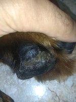 Dolor al contacto en perros, Rottweiler