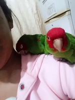 Mal apetito en aves, Loro amazona de cabeza roja