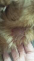 Úlceras en la piel en perros, Cocker spaniel americano