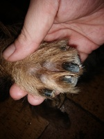 Dolor de pata en perros, Yorkshire terrier