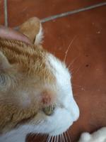 Canela, mi gato común europeo hembra, tiene picor y rascarse, caspa y enrojecimiento de la piel