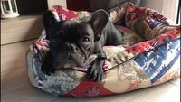 Mia, mi perro bulldog francés hembra, tiene sangre en las heces, diarrea y picor de ano